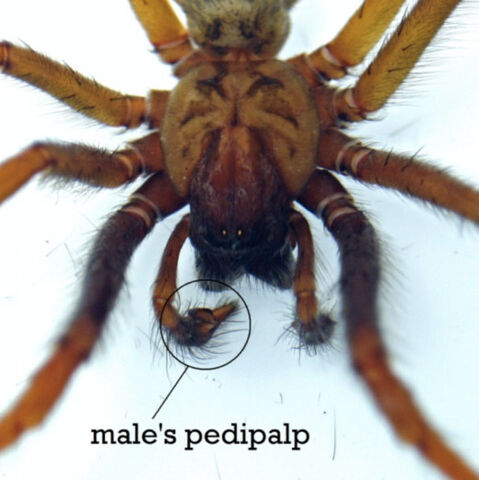 File:Male-spiders-pedipalp.jpg