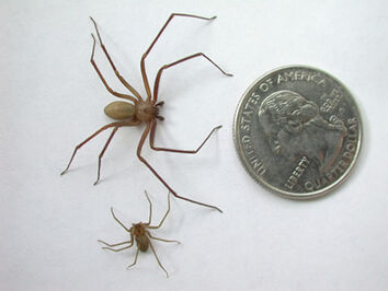 Brown recluse3