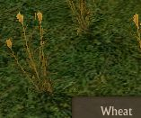 File:Wheat mature.jpg