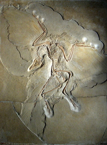 File:800px-Archaeopteryx lithographica (Berlin specimen).jpg