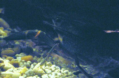 File:Carl crawfish.jpg
