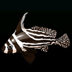 斑高鳍䱛 - 稀有度:普通,尺寸:小