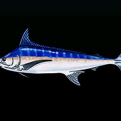 Blue Marlin - 稀有度:非常稀有,尺寸:大