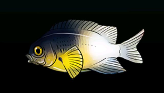File:Bi-colorDamselfishACP.png