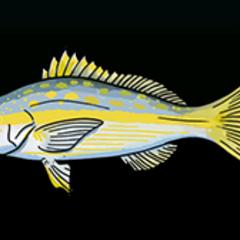 黄敏尾笛鲷 - 稀有度:普通,尺寸:小