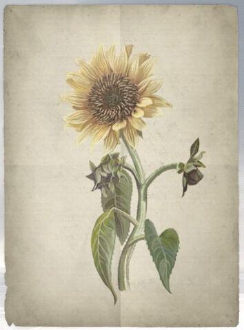 File:ACS DB Sunflower.jpg