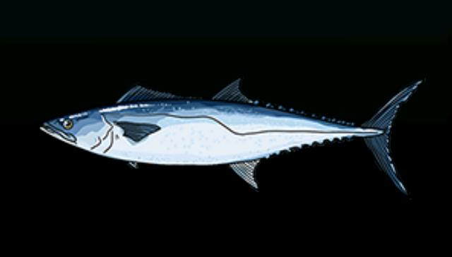 File:KingfishACP.png