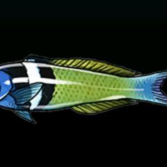 钝头锦鱼 - 稀有度:普通,尺寸:小