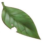 Holy Tree Leaf