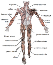 Muscles posterior