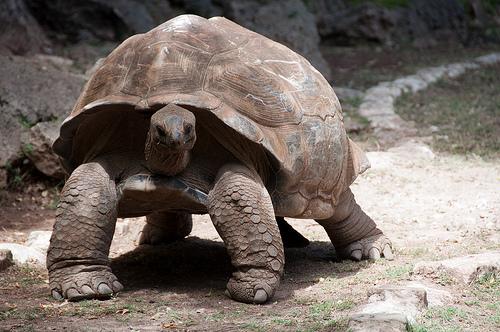 File:Turtle, Rodrigues Island.jpg