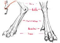 Avali leg anatomy