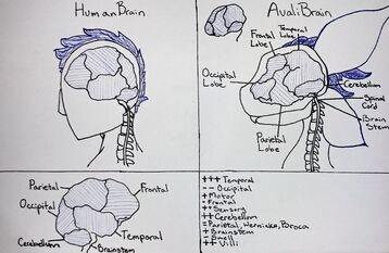 Avali Brain Lobes Clean