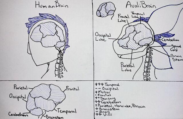 File:Avali Brain Lobes Clean.jpg