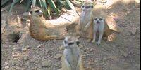 Ten Little Meerkats
