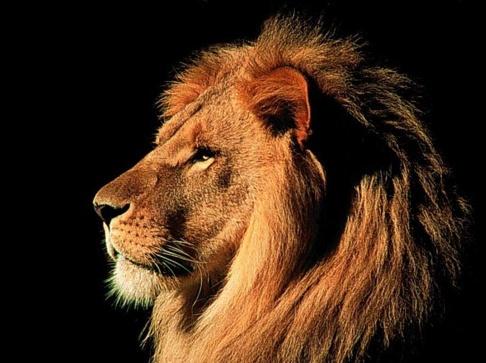 File:Lion 4.jpg