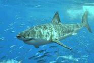 Great-white-shark (1)