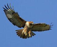 Nsl redtailedhawk 2