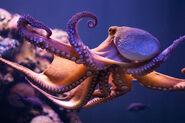 Octopus-flickr-3658339290-hd