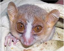 Bongolava mouse lemur