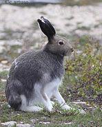 Arctic Hare Artuso