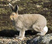 Artic-Hare-Summer