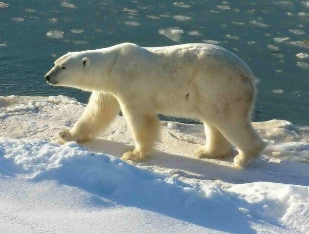File:792px-Polar Bear 2004-11-15.jpg