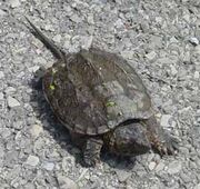 Snapping turtle1