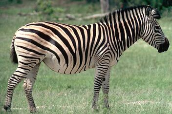 Facts-about-zebra-zebra-in-savana