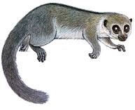 Sibree's dwarf lemur