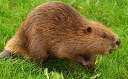 Beaver-2 2533418b