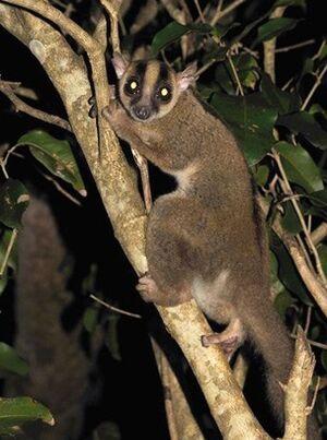 Masoala fork-marked lemur