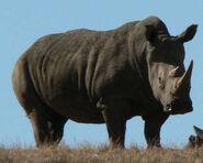 Rhinoceros (5)