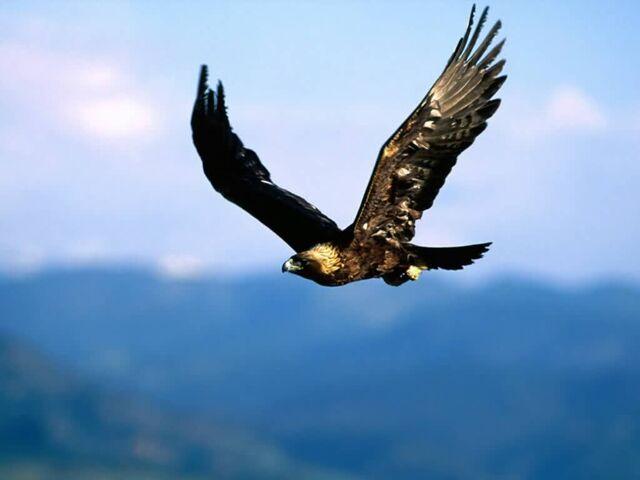 File:Golden Eagle-Soaring High-1024x768-bandwidth-thief.jpg