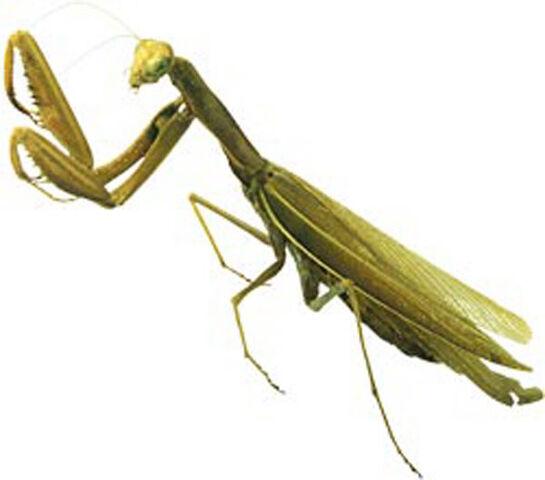 File:A-Praying-Mantis.jpg
