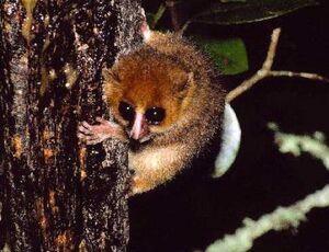 Sambirano mouse lemur