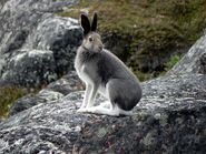 Arctic hare05