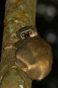 Mittermeier's sportive lemur
