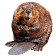 Beaver (2)