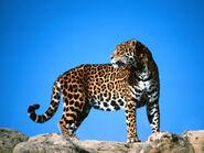 Jaguar (31)