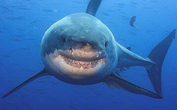 Shark 1515908c