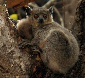 Bemaraha Woolly lemur