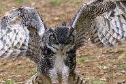 Great Horned Owl 1a (6019213471)