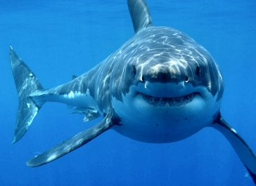 File:Great-white-shark.jpg