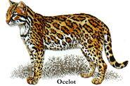 Ocelot (1)