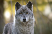 Charlotte wolf