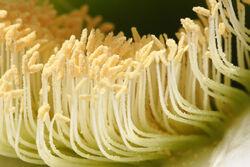 Cactus flower pollen