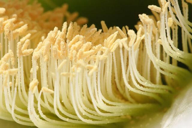 File:Cactus flower pollen.jpg