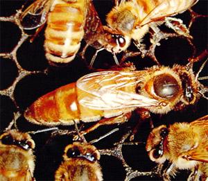 File:Queen-bee.jpg