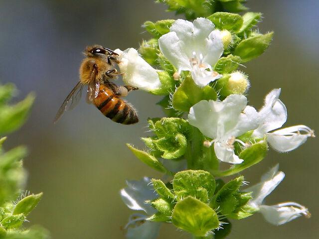 File:Bee pd4.jpg